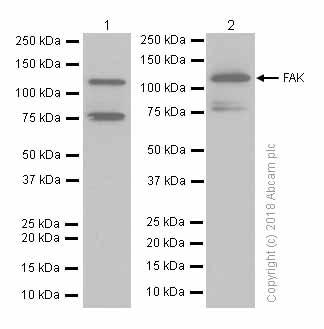 Western blot - Anti-FAK antibody [EP695Y] (ab40794)