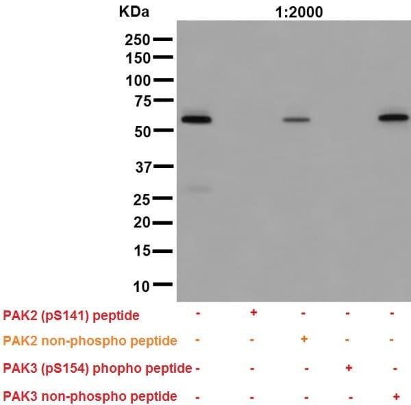 Western blot - Anti-PAK1 (phospho S144) + PAK2 (phospho S141) + PAK3 (phospho S154) antibody [EP656Y] (ab40795)