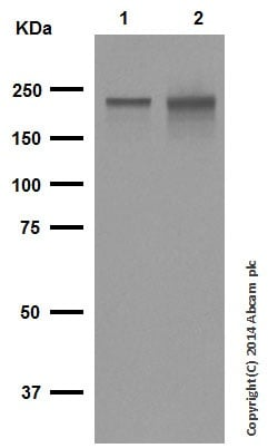 Western blot - Anti-Neurofilament heavy polypeptide antibody [EP673Y] (ab40796)