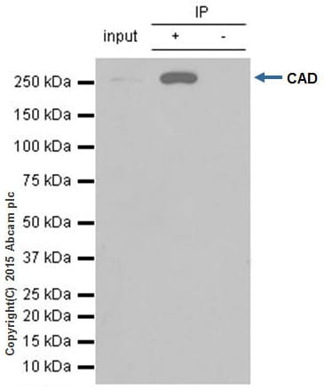 Immunoprecipitation - Anti-CAD/BM1 antibody [EP710Y] (ab40800)