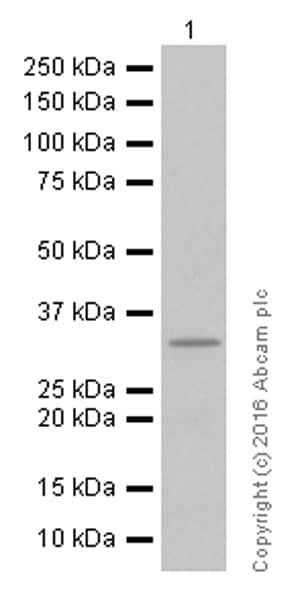 Western blot - Anti-DARPP32 antibody [EP720Y] (ab40801)
