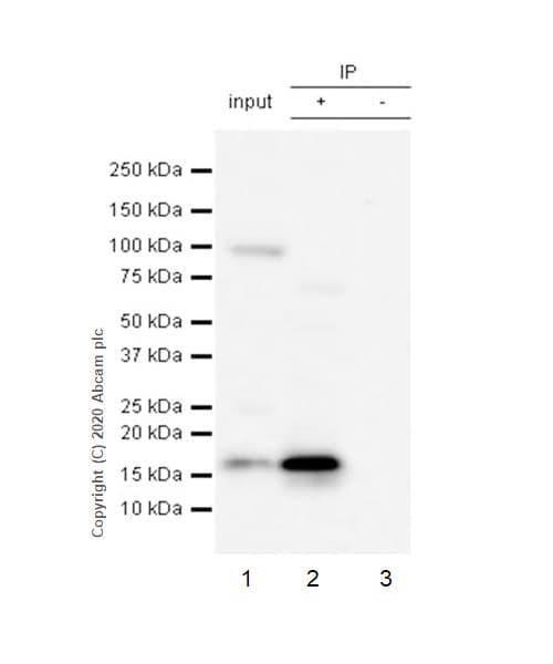 Immunoprecipitation - Anti-CDKN2A/p16INK4a antibody [EP435Y] (ab40803)