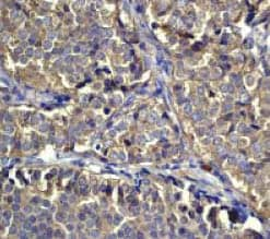 Immunohistochemistry (Formalin/PFA-fixed paraffin-embedded sections) - Anti-EEF2/Elongation factor 2 antibody (ab40812)