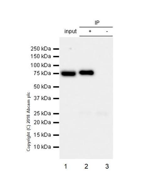 Immunoprecipitation - Anti-Ezrin antibody [EP886Y] - Plasma Membrane Marker (ab40839)