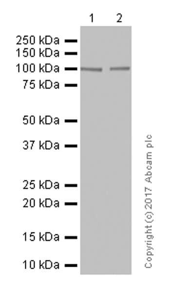 Western blot - Anti-Glutamate receptor 3/GluA3 antibody [EP813Y] (ab40845)