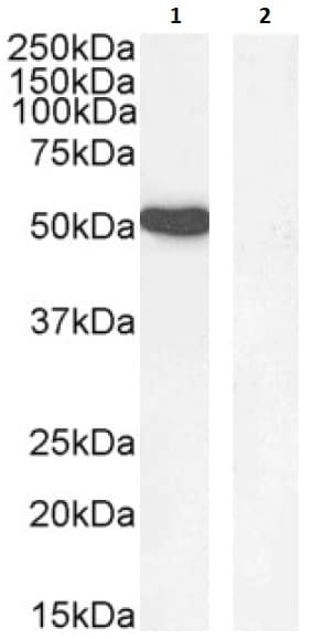 Western blot - Anti-GATA1 antibody (ab40847)