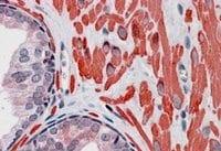 Immunohistochemistry (Formalin/PFA-fixed paraffin-embedded sections) - Anti-VPS37C antibody (ab40851)
