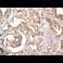 Immunohistochemistry (Formalin/PFA-fixed paraffin-embedded sections) - Anti-Smad3 antibody [EP568Y] (ab40854)