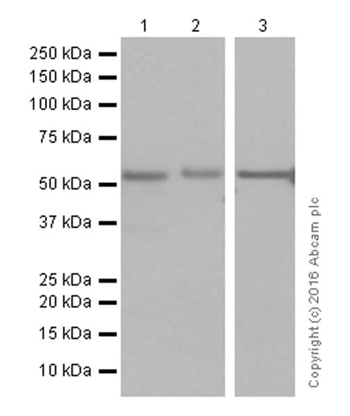 Western blot - Anti-Smad2 antibody [EP784Y] (ab40855)