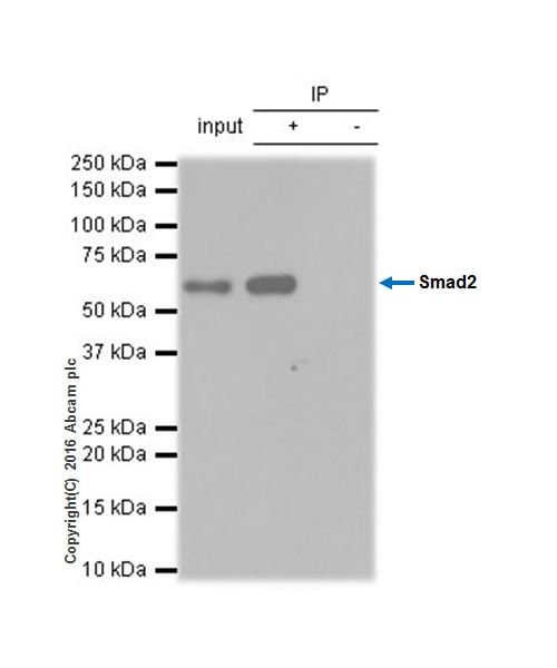 Immunoprecipitation - Anti-Smad2 antibody [EP784Y] (ab40855)