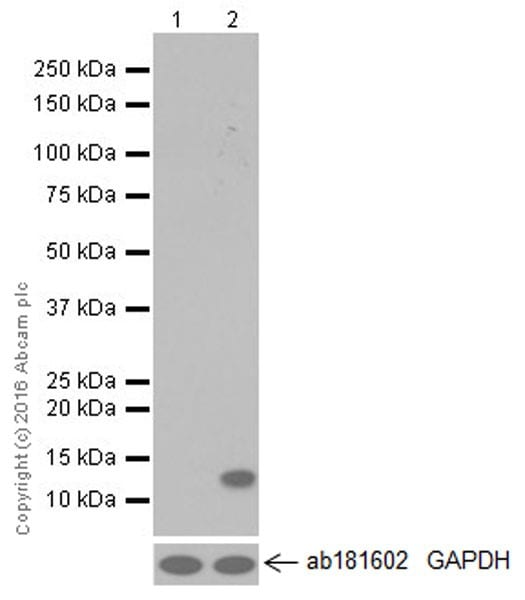 Western blot - Anti-CCL4/MIP-1 beta antibody [EPR494] (ab40857)
