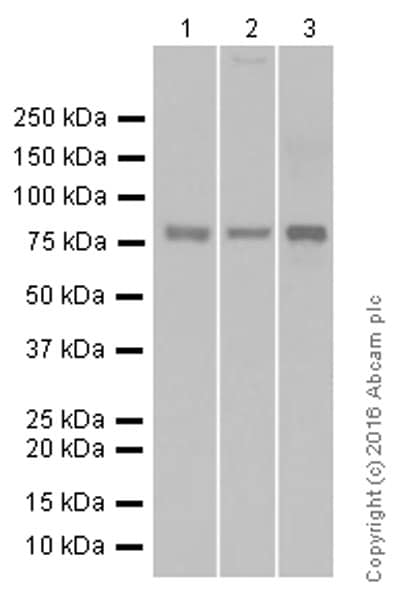 Western blot - Anti-Glycogen synthase 1/GYS1 antibody [EP816Y] (ab40867)