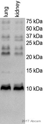 Western blot - Anti-Uteroglobin antibody (ab40873)