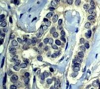 Immunohistochemistry (Formalin/PFA-fixed paraffin-embedded sections) - Anti-Caspase-5 antibody [EP876Y] (ab40887)