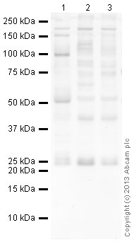 Western blot - Anti-RAB14 antibody (ab40938)