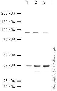 Western blot - Anti-Annexin A2 antibody (ab40943)