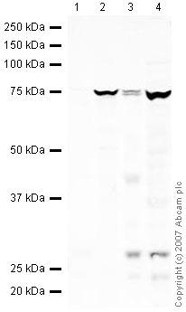 Western blot - Anti-ADAMTS5 antibody (ab41037)
