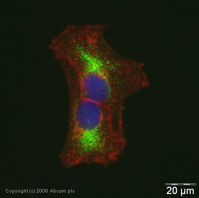 Immunocytochemistry/ Immunofluorescence - Anti-UCP3 antibody (ab41038)