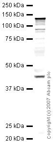 Western blot - Anti-Tomosyn antibody (ab41271)