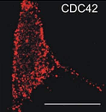 Immunocytochemistry/ Immunofluorescence - Anti-CDC42 antibody [M152] (ab41429)