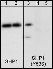 Western blot - Anti-SHP1 (phospho Y536) antibody (ab41437)