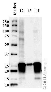 Western blot - Anti-SNAP25 antibody (ab41455)