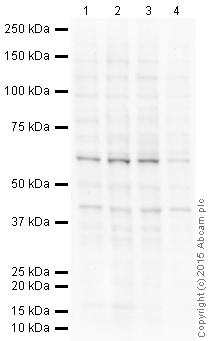 Western blot - Anti-Lhx8 antibody (ab41519)