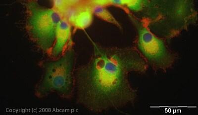 Immunocytochemistry/ Immunofluorescence - Anti-Tyrosine Hydroxylase antibody - Neuronal Marker (ab41528)