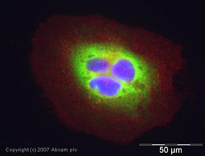 Immunocytochemistry/ Immunofluorescence - Anti-Cyclophilin A antibody (ab41684)