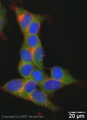 Immunocytochemistry/ Immunofluorescence - Anti-SNAP25 antibody (ab41726)