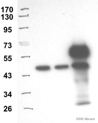 Immunoprecipitation - Anti-TDP43 antibody (ab41881)