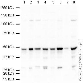 Western blot - Anti-TDP43 antibody (ab41881)