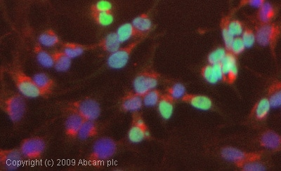 Immunocytochemistry/ Immunofluorescence - Anti-HNF-4-alpha antibody [K9218] - ChIP Grade (ab41898)