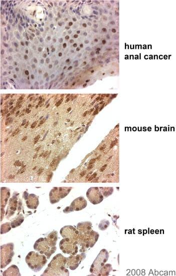 Immunohistochemistry (Formalin/PFA-fixed paraffin-embedded sections) - Anti-Flotillin 1 antibody (ab41927)