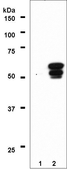 Western blot - Anti-PPAR gamma 1+2 antibody [A3409A] - ChIP Grade (ab41928)