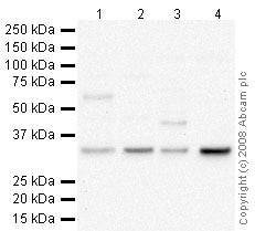 Western blot - Anti-COQ10B antibody (ab41997)