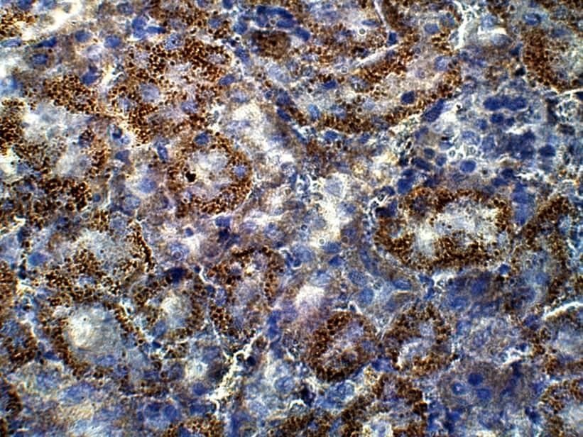 Immunohistochemistry (Formalin/PFA-fixed paraffin-embedded sections) - Anti-GUCY1A2 antibody (ab42108)