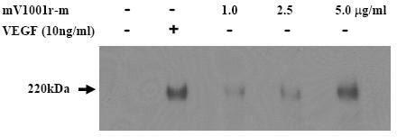 Functional Studies - Anti-VEGF Receptor 2 antibody [3D09] (ab42230)