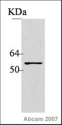 Western blot - Anti-SOX3 antibody (ab42471)