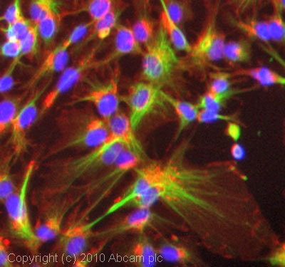 Immunocytochemistry/ Immunofluorescence - Anti-KIF5B antibody (ab42492)