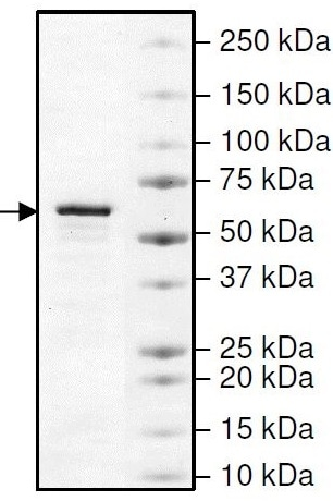 SDS-PAGE - Recombinant human SHP2 protein (ab42578)