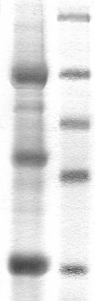 SDS-PAGE - Recombinant human B Raf + Cdc37 protein (ab42596)