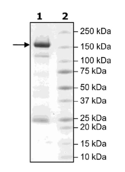 SDS-PAGE - Recombinant human HDAC6 protein (Active) (ab42632)