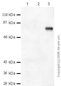 Western blot - Anti-Meprin beta antibody (ab42743)