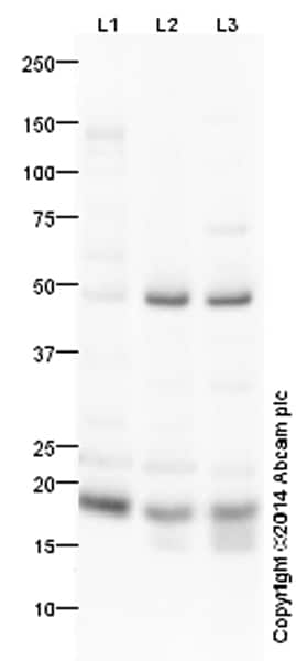 Western blot - Anti-Anterior Gradient 2 antibody (ab42765)