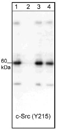 Western blot - Human Src peptide (ab42782)