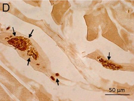 Immunohistochemistry (PFA perfusion fixed frozen sections) - Anti-Nitro tyrosine antibody (ab42789)