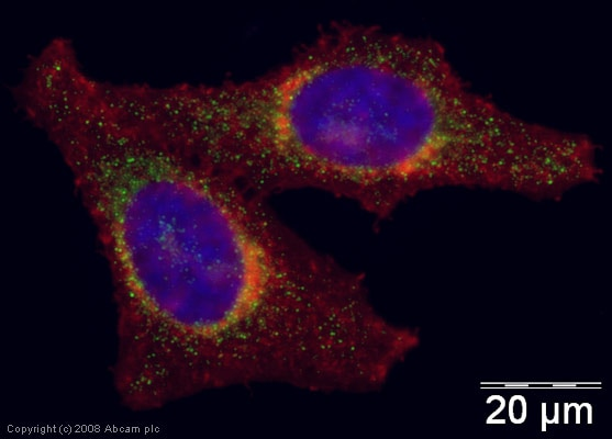 Immunocytochemistry/ Immunofluorescence - Anti-Galectin 8/Gal-8 antibody (ab42879)