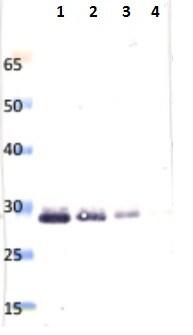 SDS-PAGE - Anti-Saporin antibody (HRP) (ab42903)