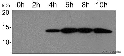 Western blot - Anti-HIV1 tat antibody - ChIP Grade (ab43014)